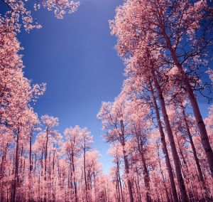 Pink_trees
