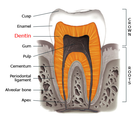 Dentin_enamel