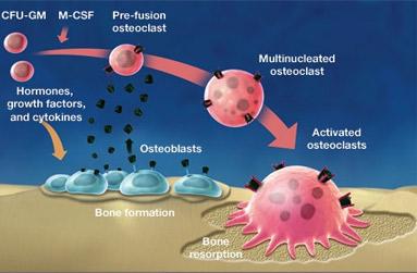 Osteoblasts osteoclasts