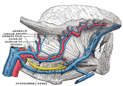 Lingual Artery Grays