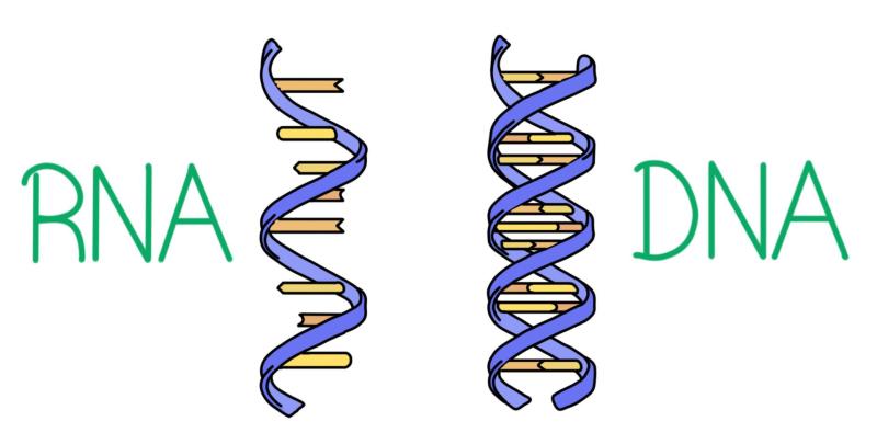 Ribonucleic_acid_and_deoxyribonucleic_acid